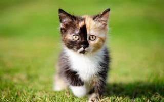 326 имен для трехцветной кошки (прикольные, оригинальные)