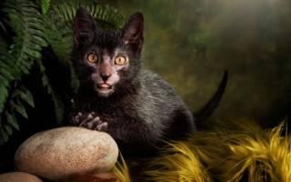 Порода кошек лаперм: описание внешности и характера, уход за питомцем и его содержание, выбор котёнка, отзывы владельцев, фото кота