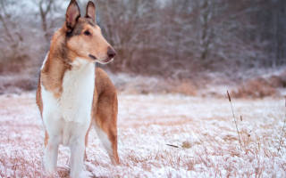 Короткошерстный колли — фото, описание породы собак, особенности
