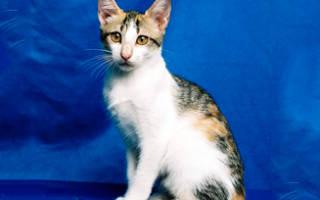 Бразильская короткошерстная кошка: фото кошки, описание породы, характер, видео