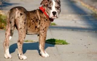 Алапахский чистокровный бульдог (отто) — фото, описание породы, особенности собаки
