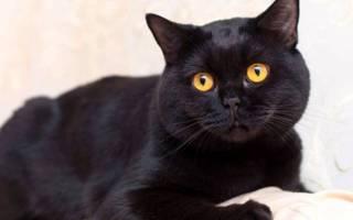 Чёрные кошки: породы, особенности ухода за котом, отзывы и фото котиков, правильный выбор котёнка