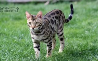 Чем кормить бенгальскую кошку: 5 лучших кормов + натуральное питание