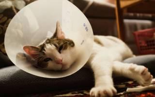 Воротник для кошки: как выбрать и сделать самому защитное елизаветинское приспособление для кошек