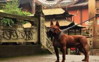 Чунцин (китайский бульдог) — фото, описание породы, особенности собаки