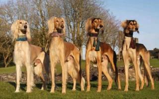 Салюки (персидская борзая) — фото, описание породы собак, особенности