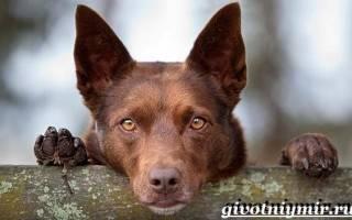 Австралийский келпи: что это за порода собак, стандарты, уход, цены, фото и отзывы