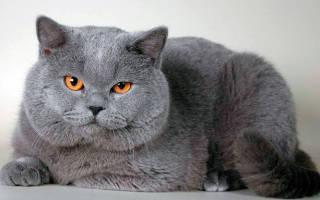Чем кормить британского котенка: 5 лучших кормов + натуральное питание
