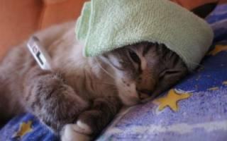 Микоплазмоз у кошек: симптомы, лечение, профилактика