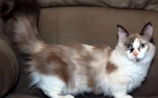 Всё о породе кошки Минскин: особенности содержания и разведения