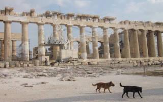 Алопекис: полное описание породы, особенности содержания и ухода за маленькой греческой собакой, цена и полезные фото
