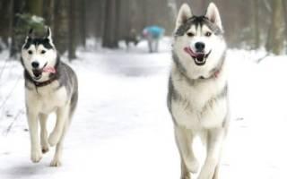 Лайки — фото, виды пород собак, описание разновидностей
