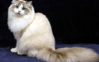 Рагамаффин: фото кошки, цена, описание породы, характер, видео, питомники