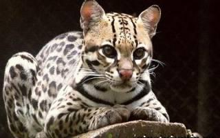 Дикая кошка онцилла: описание внешности и характера, ареал обитания и образ жизни, размножение и численность вида