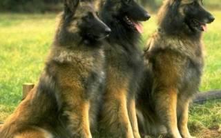 Тервюрен (бельгийская овчарка) — фото собак, характер и описание породы