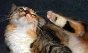 Кожные заболевания и болячки с запахом у кошек и котов — виды болезней, симптомы, лечение, фото