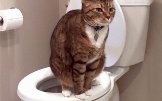 Кровь в кале у кота и кошки: причины, лечение взрослого животного или котенка