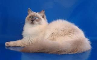 Кошка рэгдолл: описание внешности и характера породы ragdoll, фото взрослого кота и маленького котёнка, уход за питомцем, отзывы владельцев