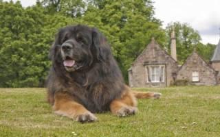 Леонбергер — фото, описание породы собак, характер, цена щенка