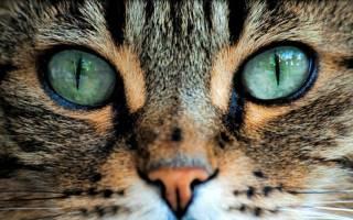 Почему нельзя смотреть в глаза кошке: мистика и ответ