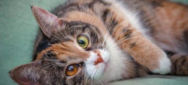 Кошки окраса из трёх цветов: породы с подобной внешностью, фото, мифы о трёхцветных котах и особенности выбора котёнка