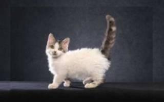 Самые маленькие кошки в мире: породы и особенности ухода за карликовыми котами