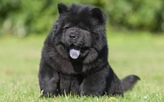 Собаки с фиолетовым языком — название и описание пород, фото, цена