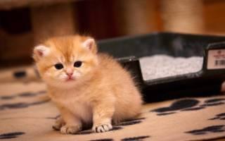 Как приучить котенка к лотку: 6 шагов + видео инструкции