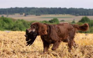 Лангхаар (немецкая длинношерстная легавая) — фото, описание породы собак, характеристика