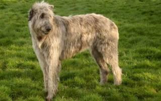 Волкодавы — фото, какие это породы собак, как они выглядят и почему причисляются к этой группе