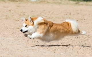 Породы собак с короткими лапами — название, фото, описание