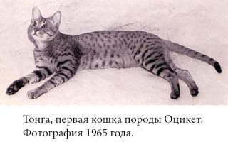 Оцикет: фото кошки, цена, описание породы, характер, видео, питомники