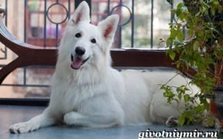 Белая швейцарская овчарка — фото, описание породы, характер и особенности содержания собаки