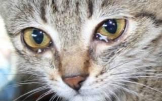 Коронавирус у кошек: симптомы, лечение, профилактика