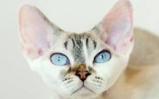 Кошка девон рекс: описание породы, выбор котёнка, фото и отзывы владельцев, уход за питомцем и его содержание
