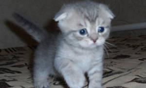 Сколько стоит британский, бенгальский, шотландский вислоухий котенок