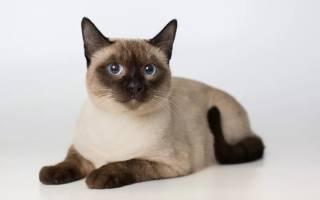 Тайская кошка: фото, описание породы, характер, видео, цена, питомники