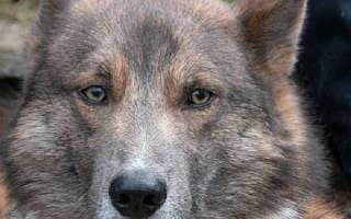 Шалайка (собака Сулимова) — фото, описание, особенности новой породы в России