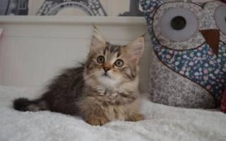 370 имен для мейн-кунов кота и кошку (по полу, окрасу, оригинально)