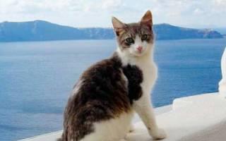 Эгейская кошка: фото кошки, цена, описание породы, характер, видео, питомники