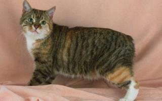 Кошки без хвоста: описание внешности и характера бесхвостых пород, уход и содержание, выбор котёнка, отзывы владельцев, фото питомцев