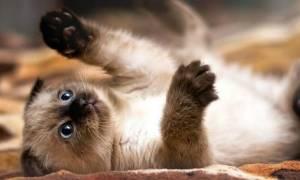 390 имен для сиамских кошек и котов (по полу, окрасу, оригинальные)
