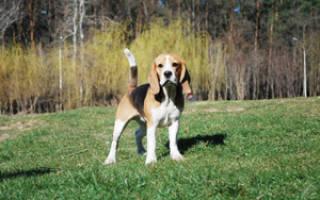 Мини бигль — существует ли карликовая разновидность, фото собак, особенности