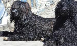 Кудрявые породы собак — фото, название, описание