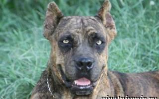 Аланский дог — фото, описание породы, характер, здоровье собаки и прочее