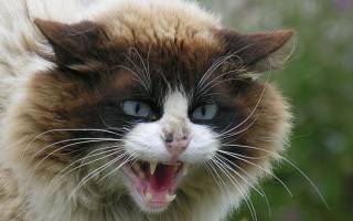 Самые злые кошки [фото + список пород]