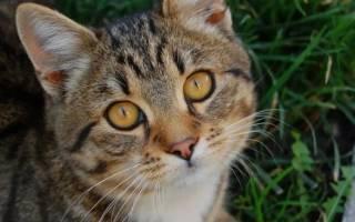 Третье веко у кошки: причины выпадения и лечение