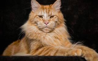 Русские породы кошек [фото + список пород]