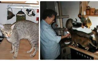 Канаани: фото кошки, цена, описание породы, характер, видео, питомники