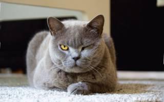 Лишай у кошек и котов: Симптомы, как лечить, фото и видео